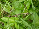 Tipula maxima